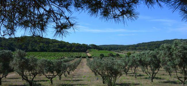 oliviers sur l'île de Porquerolles